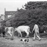Cows coming home from milking in Standish. Supplied by Stan Aspinall